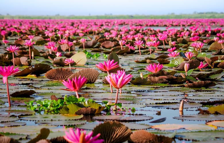 Η… ροζ λίμνη των λωτών που σαγηνεύει τους τουρίστες