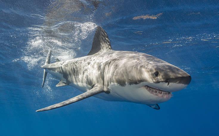 Το DNA του λευκού καρχαρία κρύβει μυστικά για τον καρκίνο