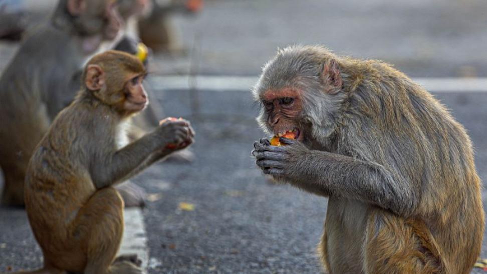 monkeys ap